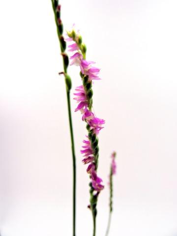 益田市の捩花2