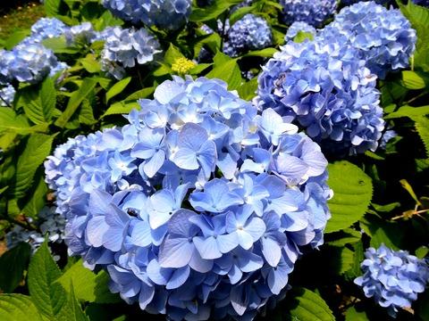 紫陽花s 島根県立万葉公園(益田市)