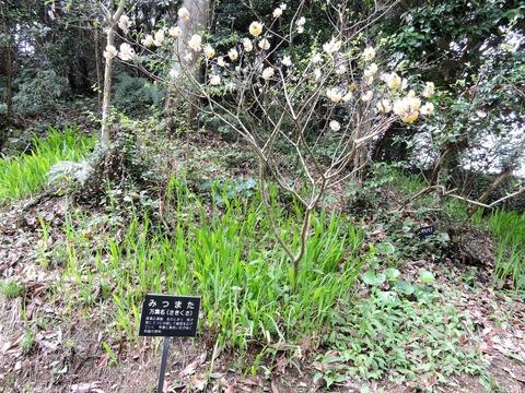 益田市万葉植物園ミツマタ
