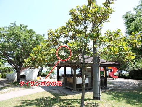 タイサンボクの木 島根県立万葉公園 子どもの広場 益田市