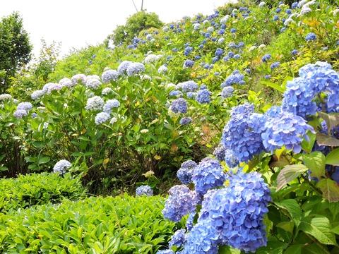 紫陽花が咲く斜面 島根県立万葉公園(益田市)