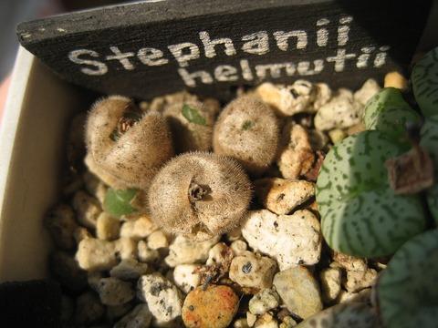 stephanii ssp helmutii