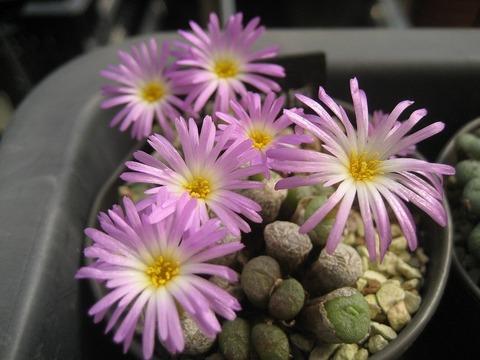 ectypum ssp.ignavum