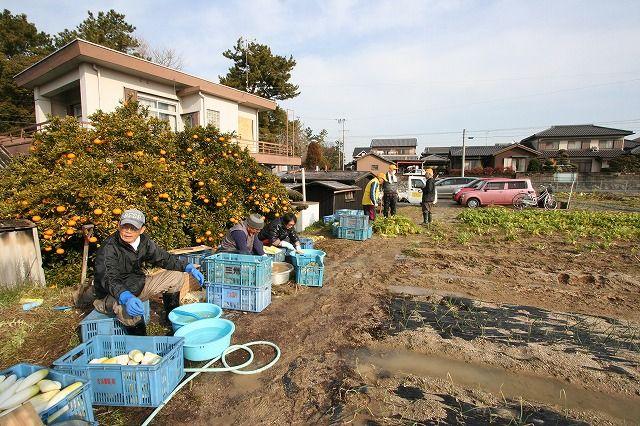 吉浜北部保育園なかよし農園『切り干し大根作り』作業をしました。の画像