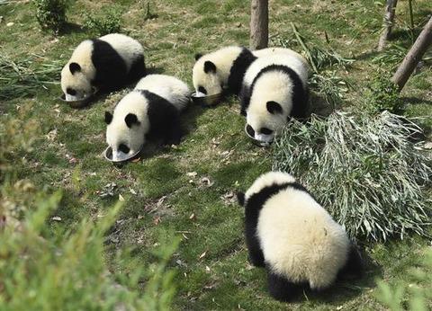 パンダの肉を売買した兄弟に懲役13年と11年を求刑 2ch「さすが中国、しかし美味いのか?」