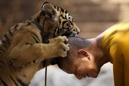 タイの虎と触れ合える寺院に『危険』だとして捜査令状 → 寺院は虎の一部を放して当局に抵抗