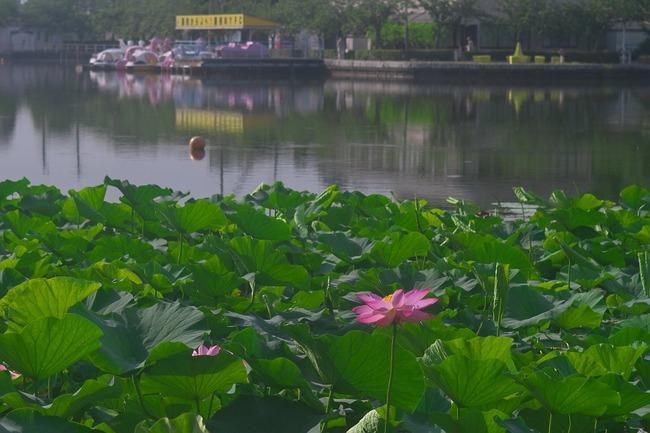ポケGOユーザー「コイキングかと思ったらおじいさんだった」静岡県蓮華寺池公園でお手柄人命救助