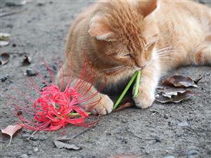 【悲報】飼い主「死んだ猫埋めたら、そこから彼岸花が咲いた…涙が止まらない」→しかしその後、衝撃の事実が判明…