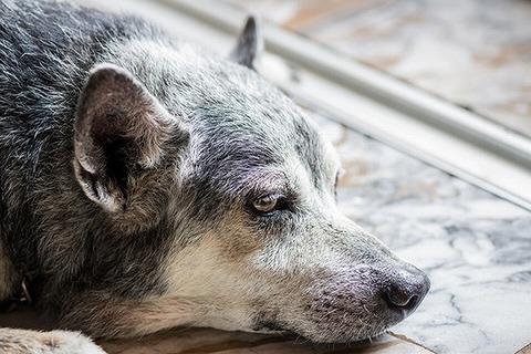 【動物】犬もストレスで若白髪?感情の起伏の激しさに注意…