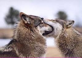オオカミを輸入して山林に放ち、食害を減らそうとの構想