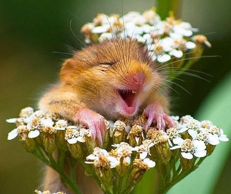 ネズミの喜ぶ表情が判明、くすぐって検証。うれしいと耳を寝かせ、ピンク色に、ポジティブな感情では初の発見