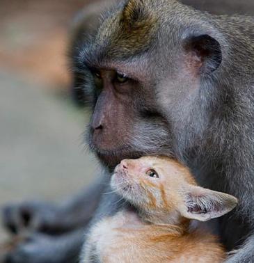 【画像】迷い込んできた仔猫の世話をする猿。その姿はまるで親子だ。