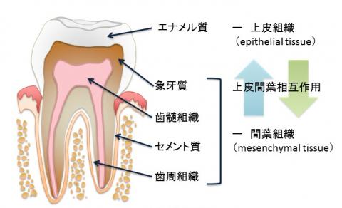 人工的に歯のエナメル質を形成することに成功!次世代のむし歯の治療や歯の再生への応用が期待
