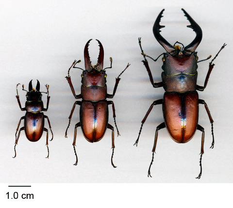 【社会】クワガタの大あごなど、甲虫が持つ武器の大きさは幼虫時代の栄養状態で決まる