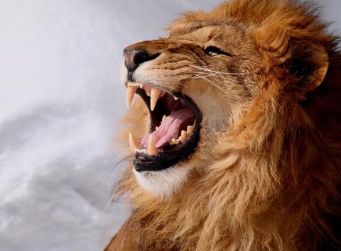 【動画】百獣の王がキリンを頭から捕食する様子