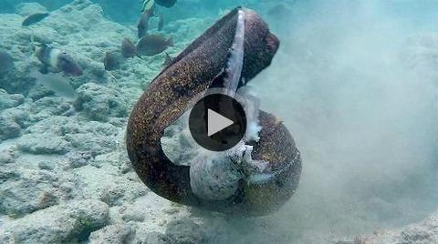 【生物】ウツボ vs タコ 死闘を制したのは・・・? 海洋学者「ウツボを怒らせてはいけない」