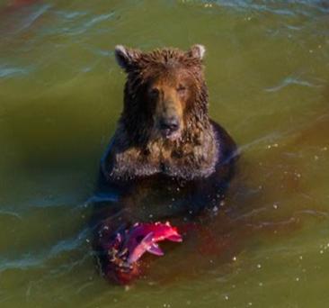 【画像】Googleマップにたまたま映っていた鮭を捕まえる熊がこちら…