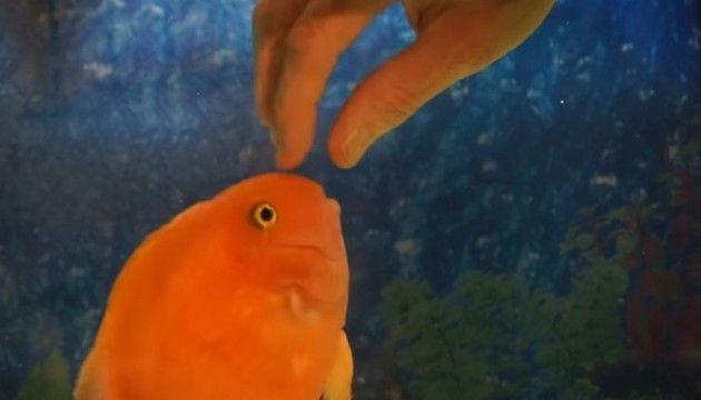 【動画】 メチャクチャ馴れてるペットの熱帯魚がカワイイwww!!