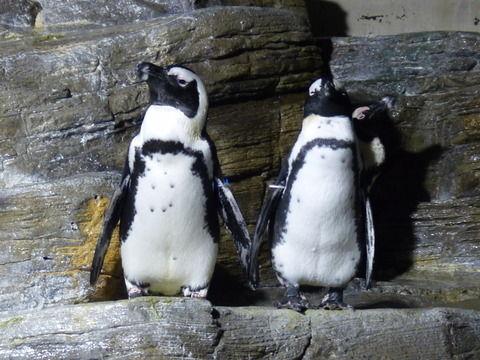 ペンギン 並んで気を付けする