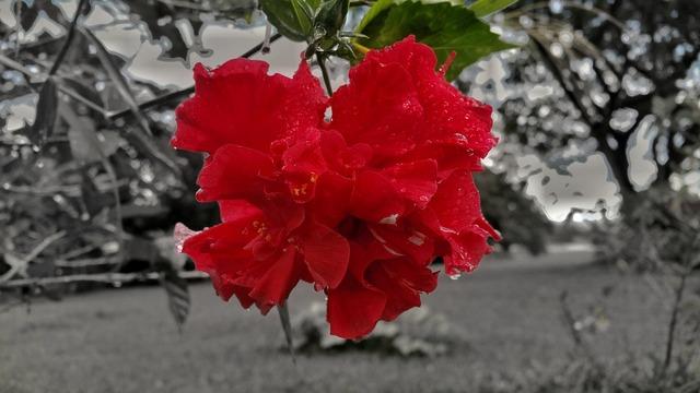 rose-2766581_960_720
