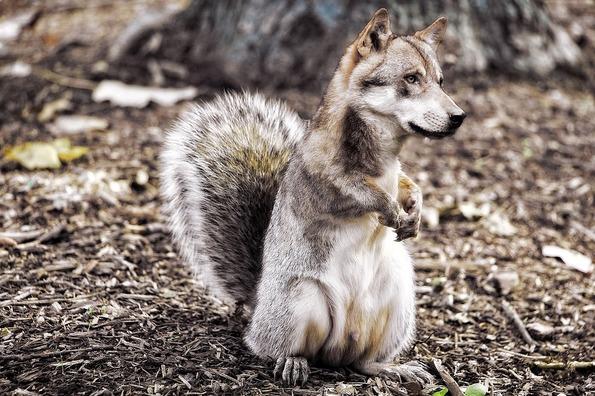 wolf-2528315_1280
