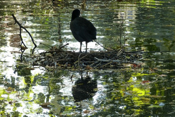 coot-4526443_960_720