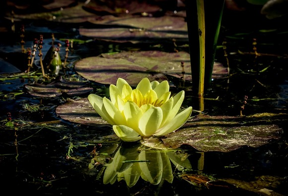water-lily-3464797_960_720