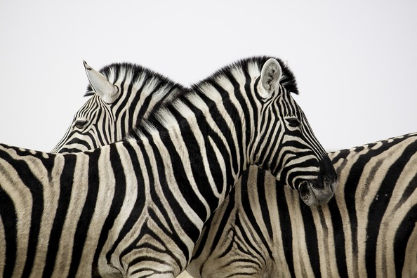 zebra-3834241_1920