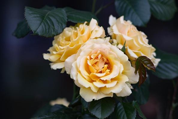 rose-3408084_960_720