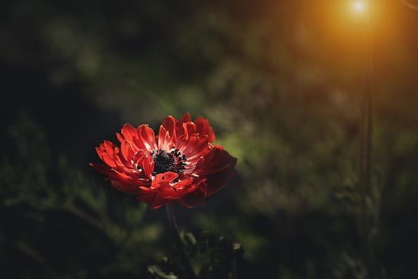 anemone-3455864_960_720