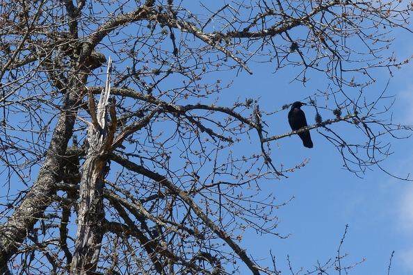 crow-767022_960_720