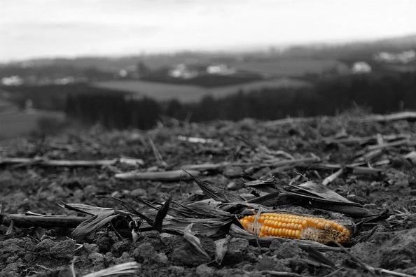 corn-3719347_960_720