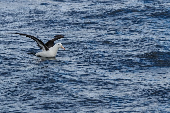 black-browed-albatros-4821017_960_720
