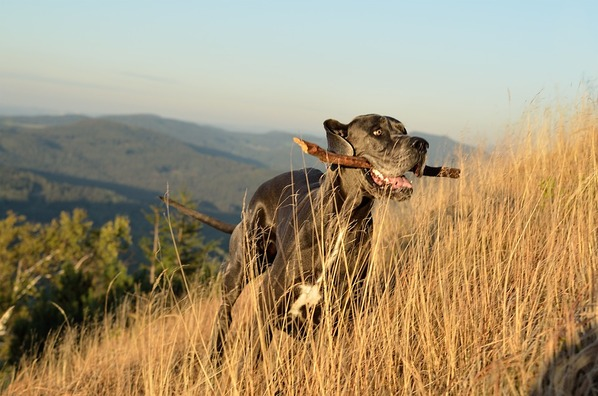 great-dane-3708769_960_720