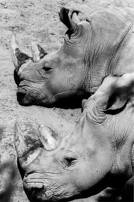 hippopotamuses-691984_960_720