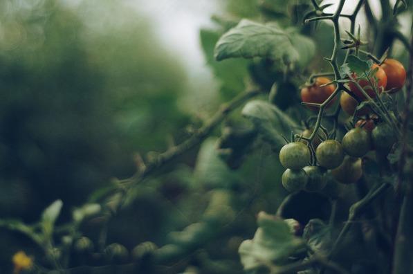 tomato-4474174_960_720