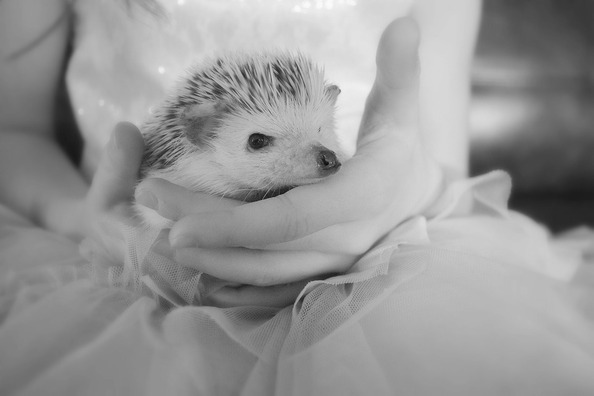 hedgehog-4067208_960_720
