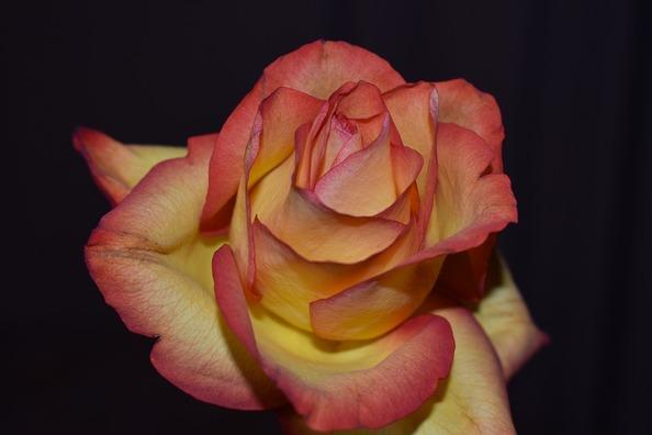 rose-4748391_960_720
