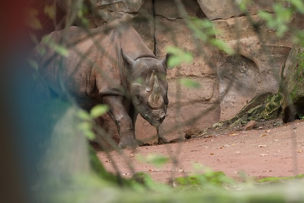 rhino-4836545_960_720