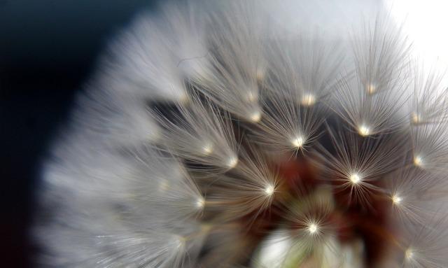 dandelion-3526209_960_720