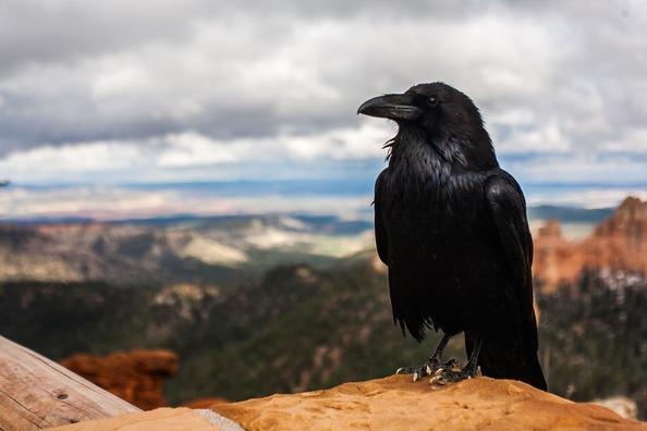 crow-828944_960_720