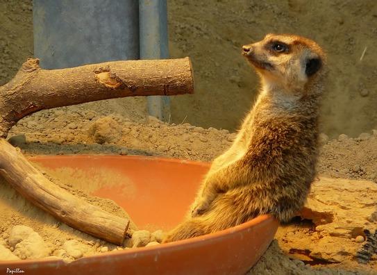 meerkat-271058_960_720