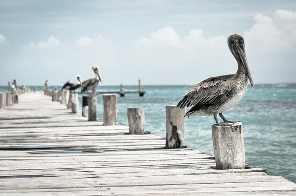 pelican-336583_960_720