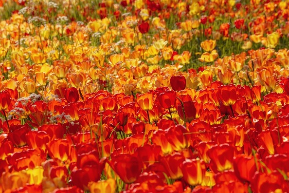 tulips-4146598_960_720