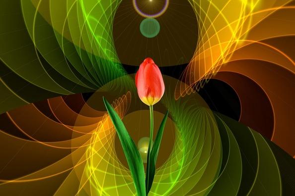 tulip-2308942_960_720