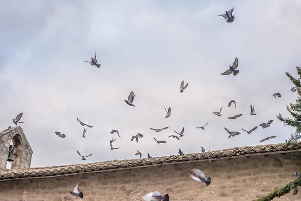 pigeons-1126141_960_720