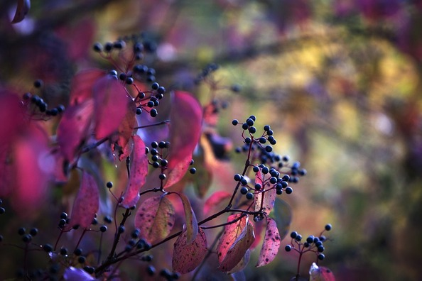 berries-4233927_960_720