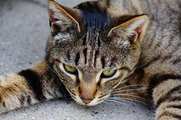cat-1407266_960_720