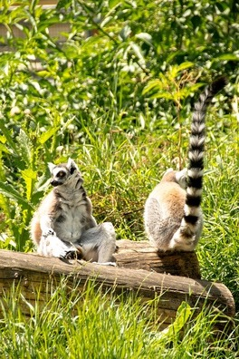 ring-tailed-lemur-826003_960_720