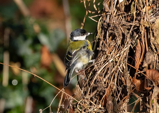 great-tit-4711085_960_720